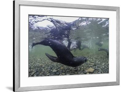 Curious Antarctica Fur Seal Pups (Arctocephalus Gazella), Polar Regions-Michael Nolan-Framed Photographic Print