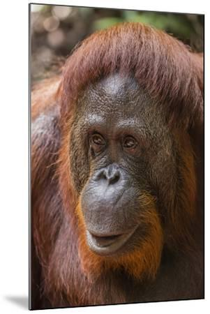 Reintroduced Female Orangutan (Pongo Pygmaeus), Indonesia-Michael Nolan-Mounted Photographic Print