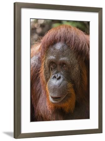 Reintroduced Female Orangutan (Pongo Pygmaeus), Indonesia-Michael Nolan-Framed Photographic Print