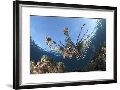 Facial View of a Lionfish Showing its Spines-Stocktrek Images-Framed Photographic Print