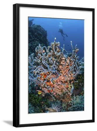 A Scuba Diver Explores a Colorful Coral Reef in Indonesia-Stocktrek Images-Framed Photographic Print