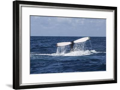 A Humpback Whale Raises its Tail as it Dives into the Atlantic Ocean-Stocktrek Images-Framed Photographic Print