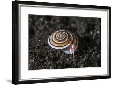 A Live Sundial Shell Crawls across the Seafloor-Stocktrek Images-Framed Photographic Print