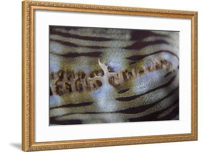 Detail of a Giant Clam Growing on a Reef in Indonesia-Stocktrek Images-Framed Photographic Print
