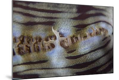 Detail of a Giant Clam Growing on a Reef in Indonesia-Stocktrek Images-Mounted Photographic Print