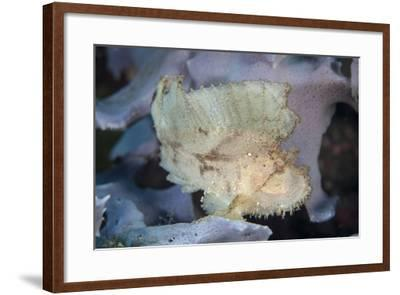 A Leaf Scorpionfish on a Reef in Komodo National Park, Indonesia-Stocktrek Images-Framed Photographic Print