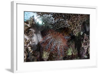 A Crown-Of-Thorns Starfish Feeds on Corals on a Reef-Stocktrek Images-Framed Photographic Print