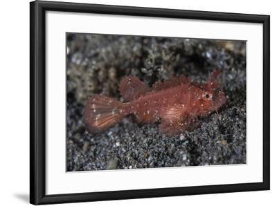 A Juvenile Ambon Scorpionfish on the Sandy Seafloor of Indonesia-Stocktrek Images-Framed Photographic Print