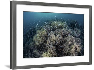 Cardinalfish Swimming Above Soft Corals in Komodo National Park, Indonesia-Stocktrek Images-Framed Photographic Print