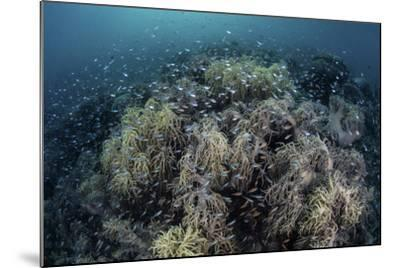 Cardinalfish Swimming Above Soft Corals in Komodo National Park, Indonesia-Stocktrek Images-Mounted Photographic Print