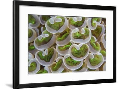 Detail of Anchor Coral Tentacles Growing on a Reef in Indonesia-Stocktrek Images-Framed Photographic Print