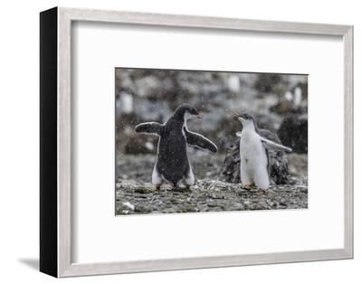 Gentoo Penguin Chicks (Pygoscelis Papua) in Ecstatic Display at Brown Bluff, Polar Regions-Michael Nolan-Framed Photographic Print