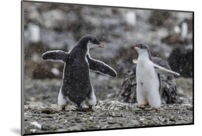 Gentoo Penguin Chicks (Pygoscelis Papua) in Ecstatic Display at Brown Bluff, Polar Regions-Michael Nolan-Mounted Photographic Print