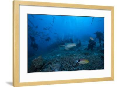 A Large Tawny Nurse Shark Swims Past Divers at the Bistro Dive Site in Fiji-Stocktrek Images-Framed Photographic Print