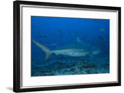 A Large Bull Shark at the Bistro Dive Site in Fiji-Stocktrek Images-Framed Photographic Print