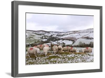 Sheep Feed on High Moorland in a Wintry Landscape in Powys, Wales, United Kingdom, Europe-Graham Lawrence-Framed Photographic Print