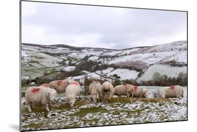Sheep Feed on High Moorland in a Wintry Landscape in Powys, Wales, United Kingdom, Europe-Graham Lawrence-Mounted Photographic Print