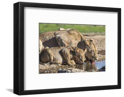 Lioness with Cub (Panthera Leo) Drinking, Kgalagadi Transfrontier Park, Northern Cape, South Africa-Ann & Steve Toon-Framed Photographic Print