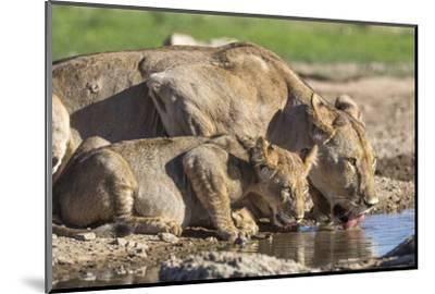 Lioness with Cub (Panthera Leo) Drinking, Kgalagadi Transfrontier Park, Northern Cape, South Africa-Ann & Steve Toon-Mounted Photographic Print