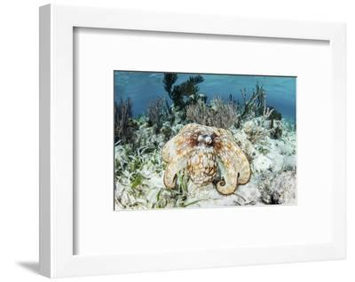 A Caribbean Reef Octopus on the Seafloor Off the Coast of Belize-Stocktrek Images-Framed Photographic Print