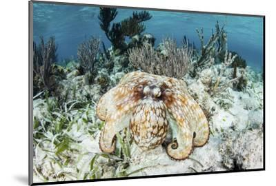 A Caribbean Reef Octopus on the Seafloor Off the Coast of Belize-Stocktrek Images-Mounted Photographic Print
