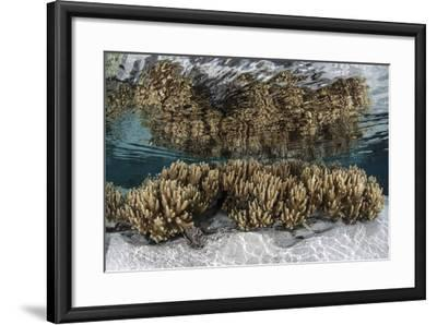 Soft Leather Corals Grow in the Shallow Waters in the Solomon Islands-Stocktrek Images-Framed Photographic Print