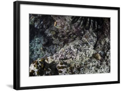 A Crocodilefish Lays on the Seafloor in the Solomon Islands-Stocktrek Images-Framed Photographic Print