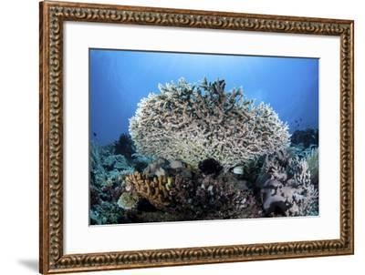 A Table Coral Grows on a Beautiful Reef Near Sulawesi, Indonesia-Stocktrek Images-Framed Photographic Print