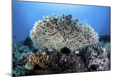 A Table Coral Grows on a Beautiful Reef Near Sulawesi, Indonesia-Stocktrek Images-Mounted Photographic Print