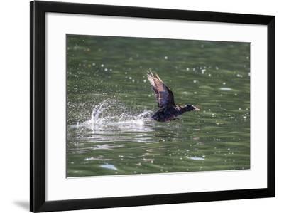 Adult Male Surf Scoter (Melanitta Perspicillata) Taking Flight in Williams Cove, Southeast Alaska-Michael Nolan-Framed Photographic Print
