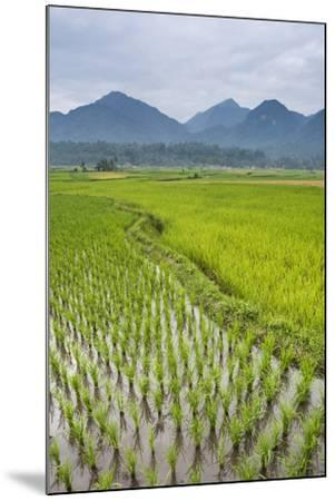 Rice Paddy Fields, Bukittinggi, West Sumatra, Indonesia, Southeast Asia, Asia-Matthew Williams-Ellis-Mounted Photographic Print