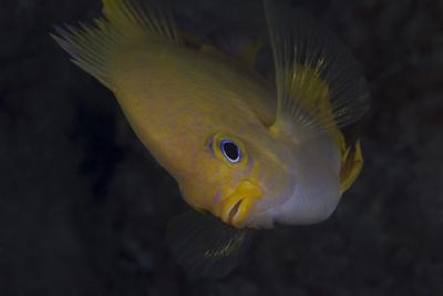 Golden Damselfish, Fiji-Stocktrek Images-Framed Photographic Print