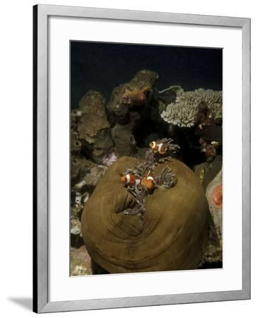Anemonefish in their Host Anemone, Lembeh Strait, Indonesia-Stocktrek Images-Framed Photographic Print