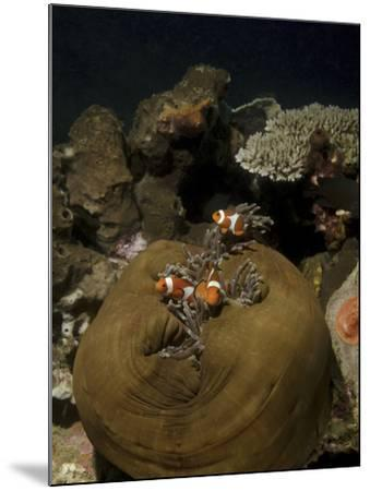 Anemonefish in their Host Anemone, Lembeh Strait, Indonesia-Stocktrek Images-Mounted Photographic Print