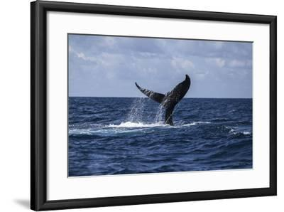 A Humpback Whale Slaps its Tail on the Surface of the Atlantic Ocean-Stocktrek Images-Framed Photographic Print