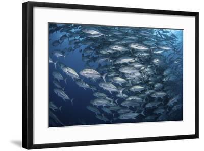 Schooling Bigeye Jacks Near Cocos Island, Costa Rica-Stocktrek Images-Framed Photographic Print