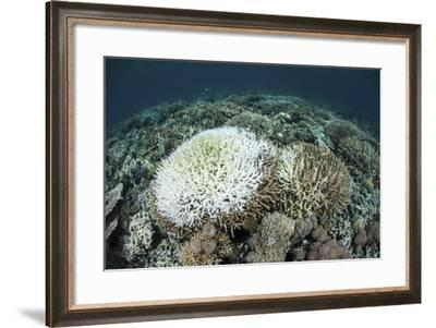Coral Colonies are Beginning to Bleach on a Reef in Indonesia-Stocktrek Images-Framed Photographic Print