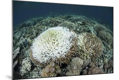 Coral Colonies are Beginning to Bleach on a Reef in Indonesia-Stocktrek Images-Mounted Photographic Print