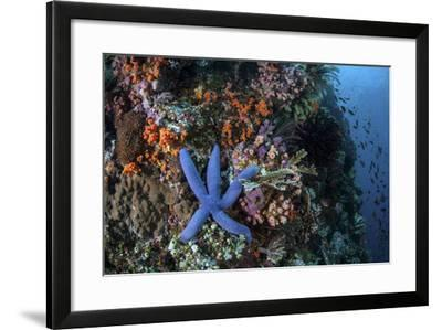 A Blue Starfish Clings to a Reef in Komodo National Park, Indonesia-Stocktrek Images-Framed Photographic Print