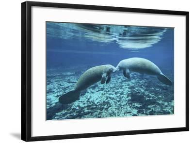 A Pair of Manatees Appear to Be Greeting Each Other, Fanning Springs, Florida-Stocktrek Images-Framed Photographic Print