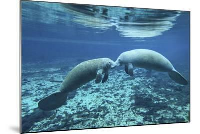 A Pair of Manatees Appear to Be Greeting Each Other, Fanning Springs, Florida-Stocktrek Images-Mounted Photographic Print