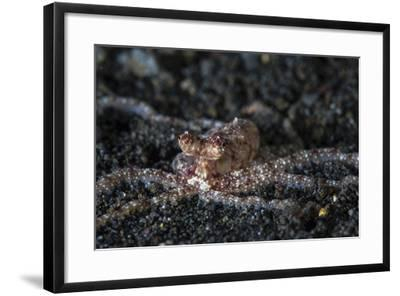 An Unidentified Octopus on a Black Sand Seafloor-Stocktrek Images-Framed Photographic Print