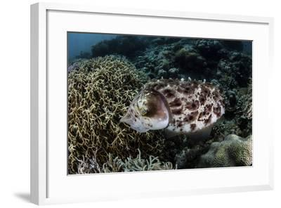 A Broadclub Cuttlefish Lays Eggs in a Coral Colony-Stocktrek Images-Framed Photographic Print