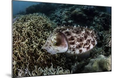 A Broadclub Cuttlefish Lays Eggs in a Coral Colony-Stocktrek Images-Mounted Photographic Print