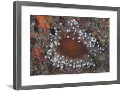 Sea Anenome in the Beqa Lagoon Reef, Fiji-Stocktrek Images-Framed Photographic Print