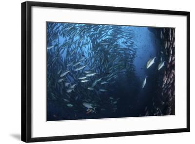 A Large School of Trevally Near Cocos Island, Costa Rica-Stocktrek Images-Framed Photographic Print