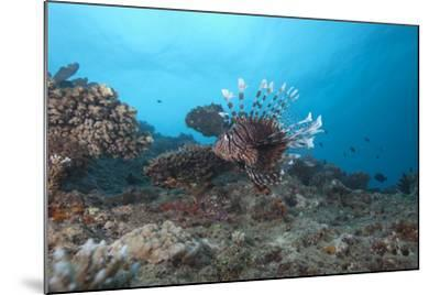 A Large Common Lionfish Swimming at Beqa Lagoon, Fiji-Stocktrek Images-Mounted Photographic Print