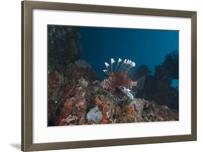A Large Common Lionfish Swimming at Beqa Lagoon, Fiji-Stocktrek Images-Framed Photographic Print