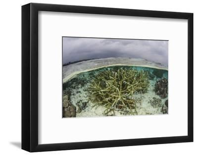 A Staghorn Coral Colony Grows in Shallow Water in the Solomon Islands-Stocktrek Images-Framed Photographic Print