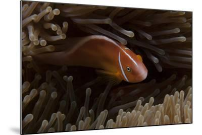 Pink Anemonefish in its Host Anenome, Fiji-Stocktrek Images-Mounted Photographic Print
